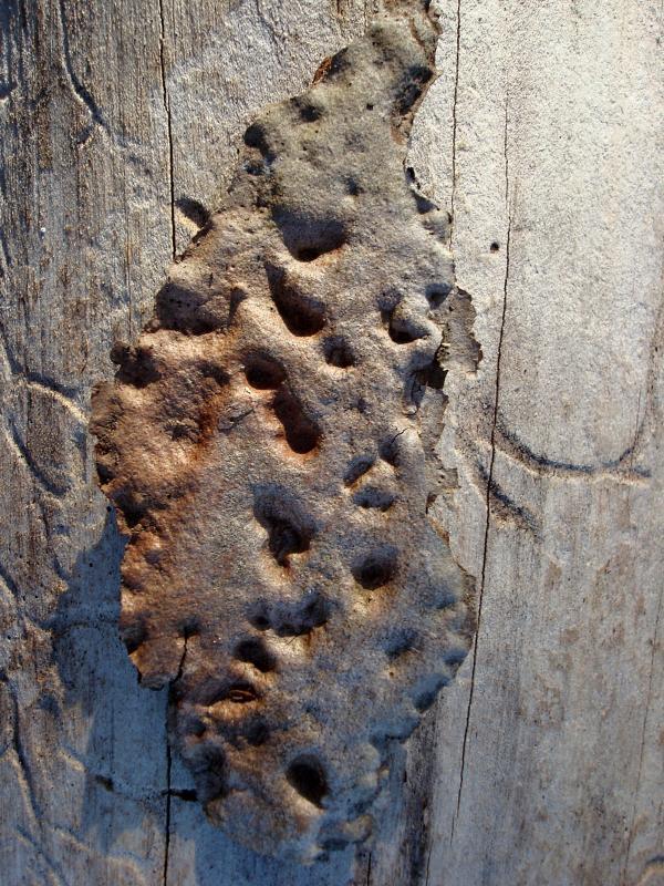 Biscuit d'écorce