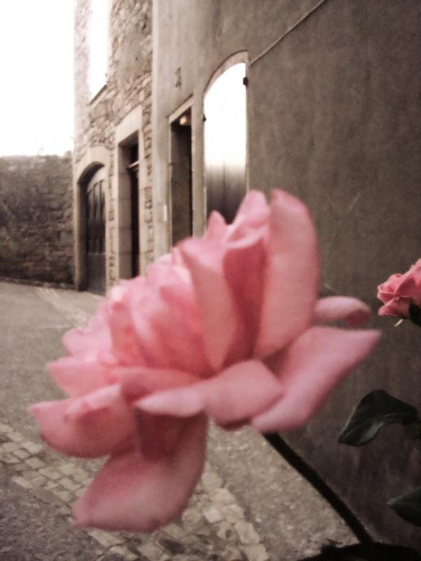 Une rose à Puycelsi