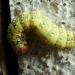 La Rieuse (Polyploca ridens)
