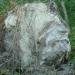 Ours léonin