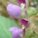 La délicatesse des fleurs de haricots