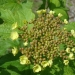 Viorne aubier