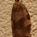 Tordeuse unifasciée (Clepsis consimilana)