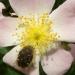 Drap mortuaire sur fleur d'églantine