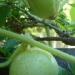 Concombres Lemon