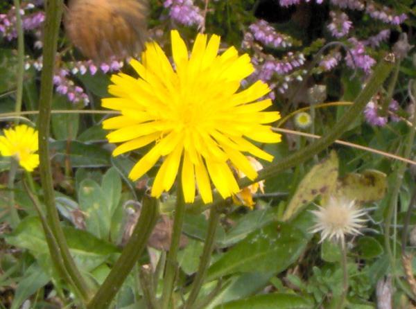 Epervière piloselle ou Oreille de souris, Oreille de rat, Herbe à l'épervier, Petite auricule, Piloselle