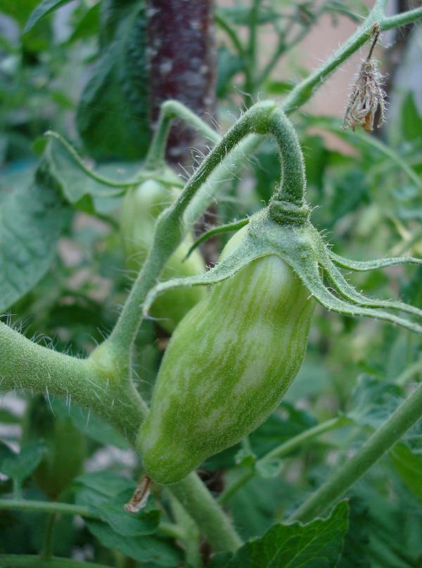 Tomate en préparation