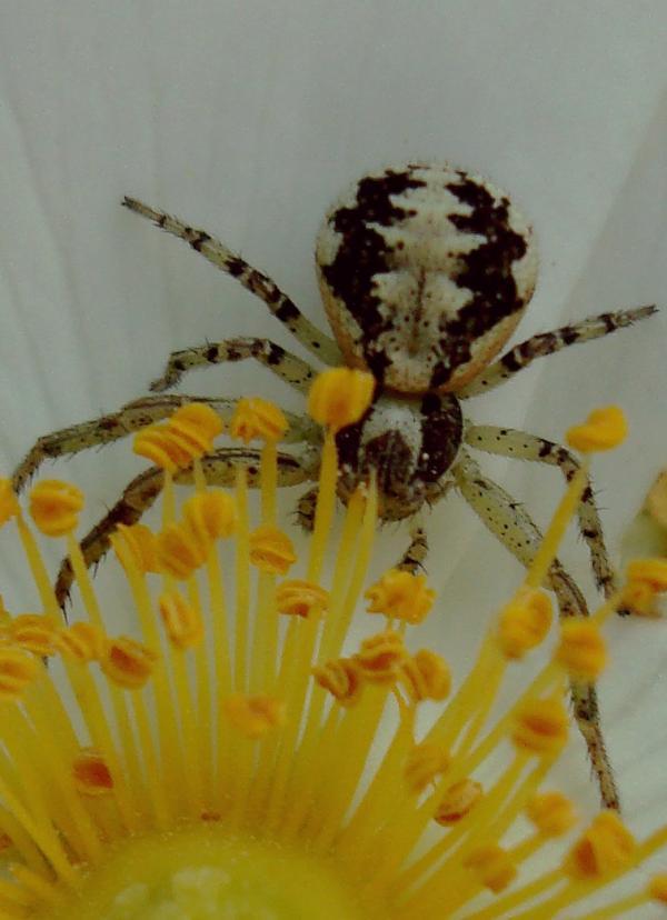 Araignée Philodromus
