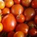 Tomates, récolte du 13 octobre
