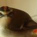 Roitelet triple bandeau mâle