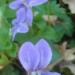 Grandes violettes