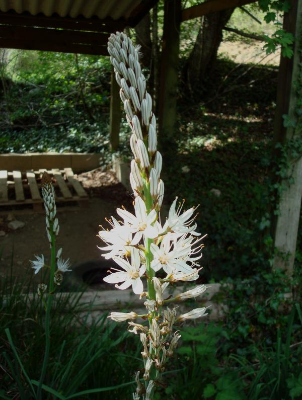 Asphodèle blanc dans la vallée de l'Ouysse (Lot).html