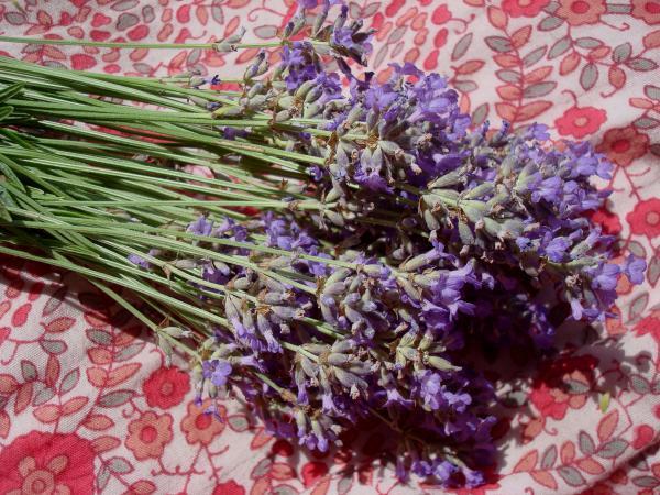 Petite récolte de lavande sur robe à fleurs
