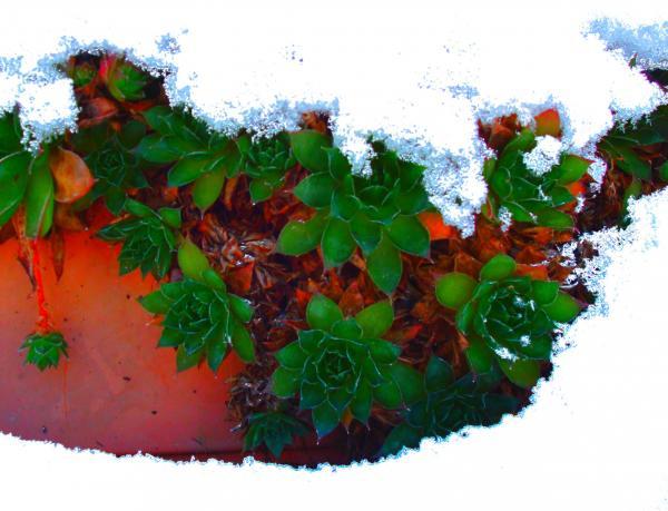 Joubarbe sous la neige