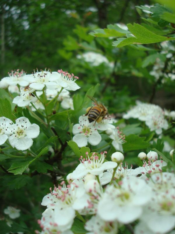 Une abeille dans l'aubépine