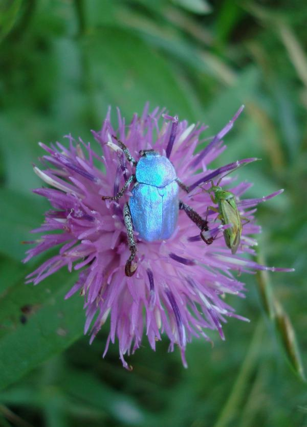 Hoplie bleu et son pote