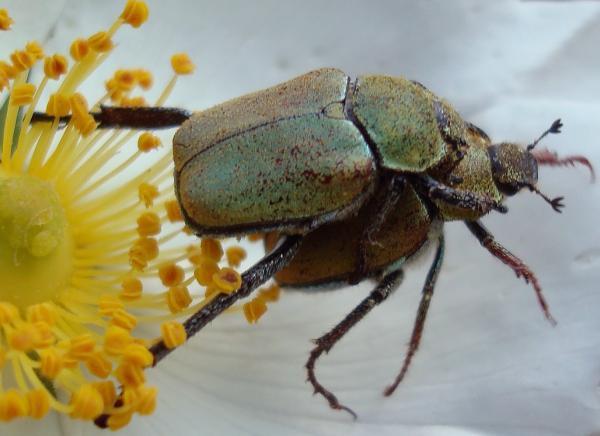 Amour de Coléoptères (cétoines ?)