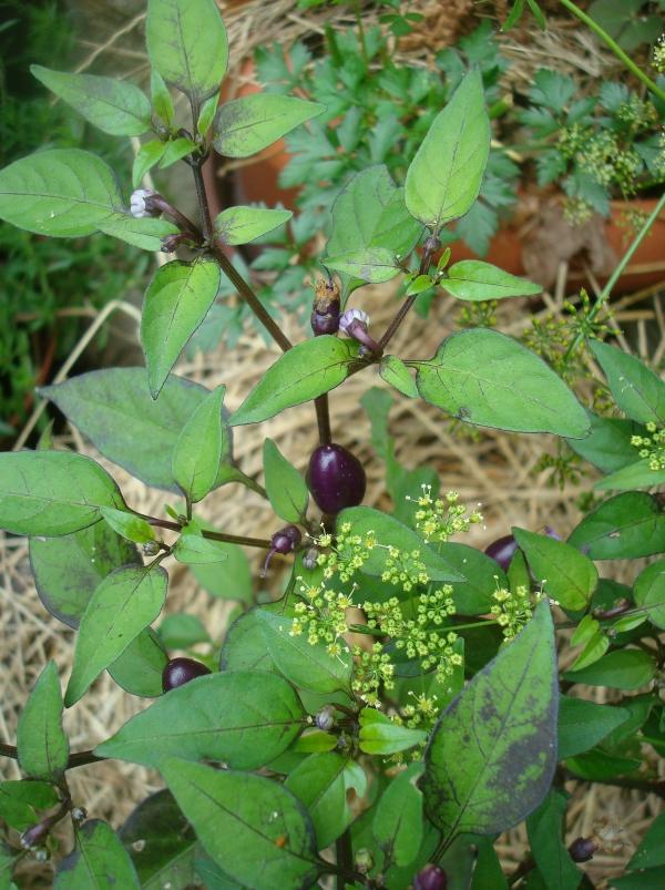 Piments Purple delight