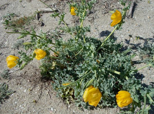 La Glaucienne jaune, Pavot cornu ou Pavot jaune des sables