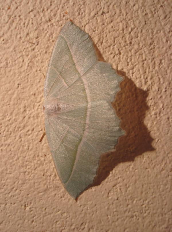 Céladon - Campaena margaritata