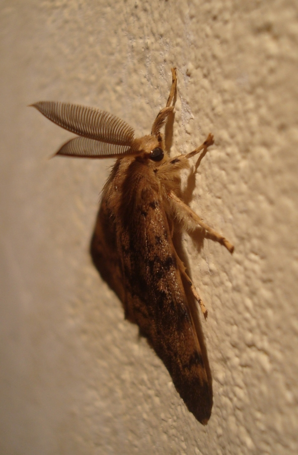 Bombyx disparate mâle