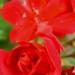 Géranium rouge rouge