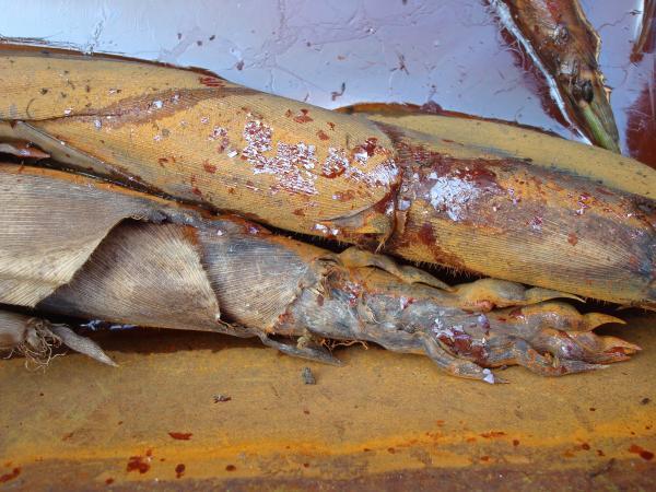Pousses de bambous dans la brouette