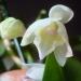 Dendrobium nobile, Orchidée bambou