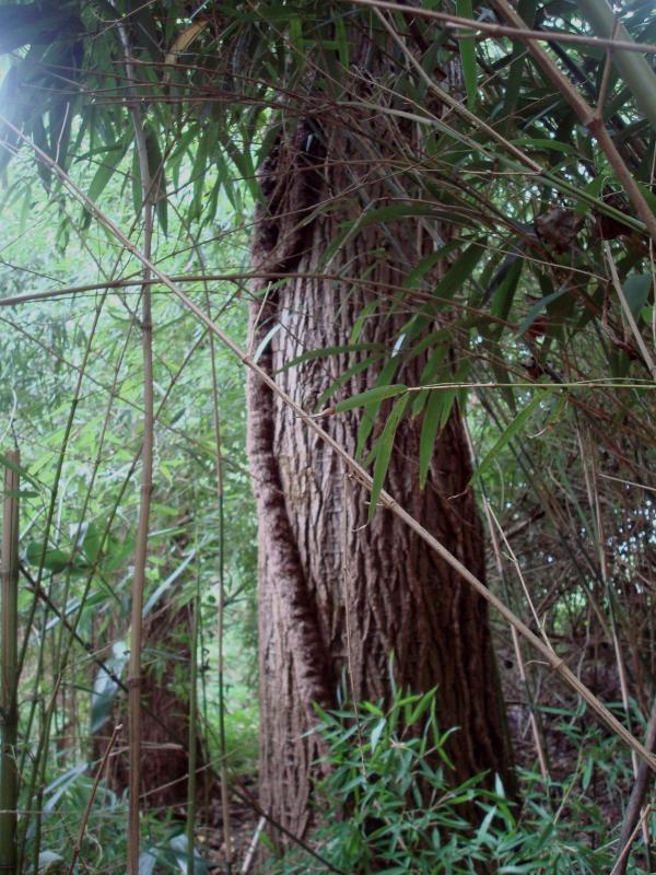 Peuplier dans les bambous