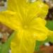 Première fleur de concombre lemon