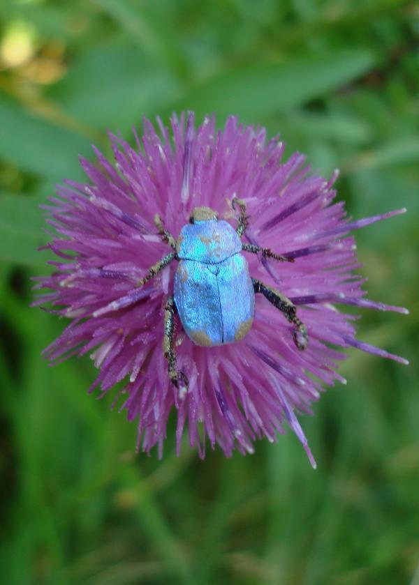 Hoplie bleu