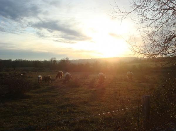 Belles vaches