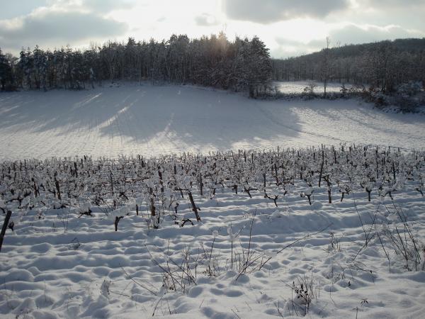 Petite vigne du causse sous la neige