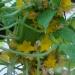 Concombre lemonqui a fait quelque chose de très bizarre