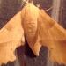Sphinx du chêne