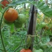 Tomates Tigerella bicolore