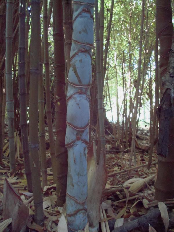 Bleu comme bambou