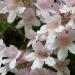 Dipelta florifère