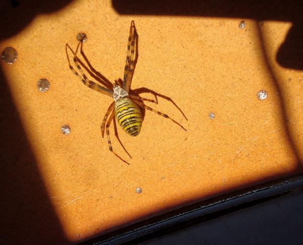 Araignée Argiope bruennichi