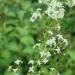 Gaillet blanc