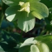 Héllébore vert
