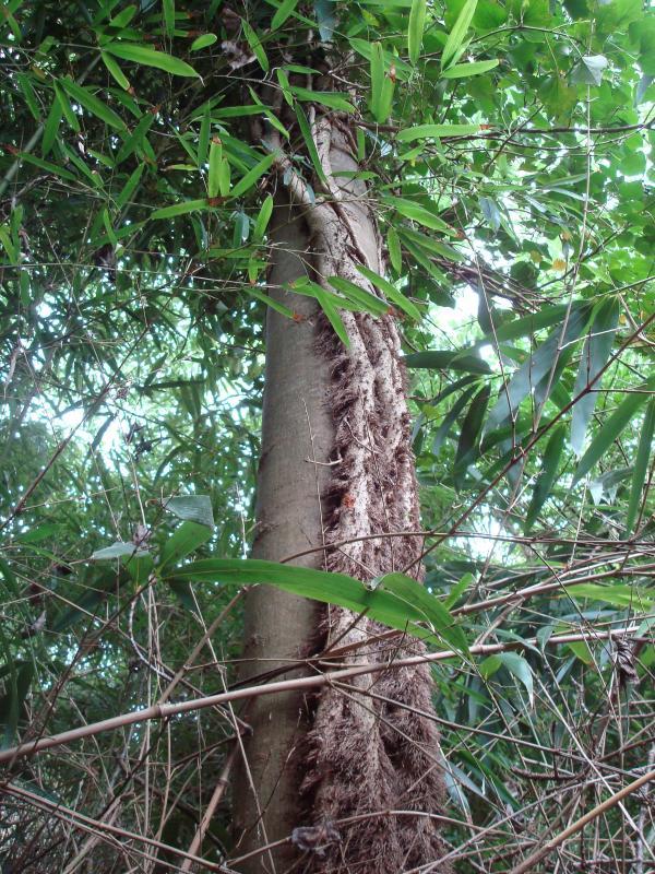 Peuplier, lierre et bambous
