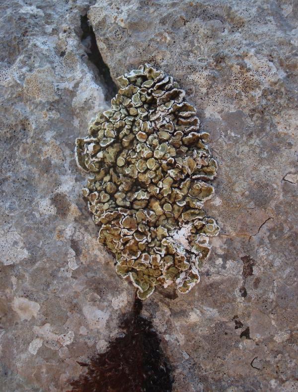 Lichen caloplaca aurantiaca