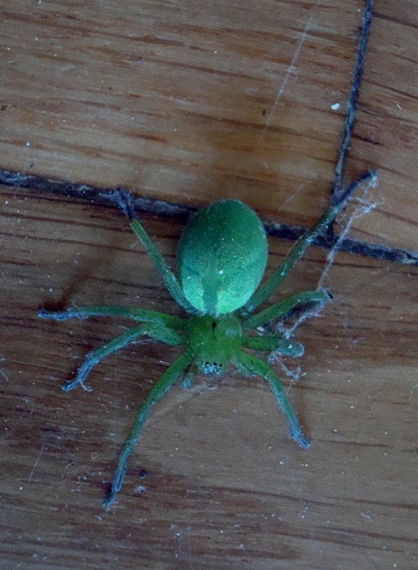 Araignée Micrommata virescens