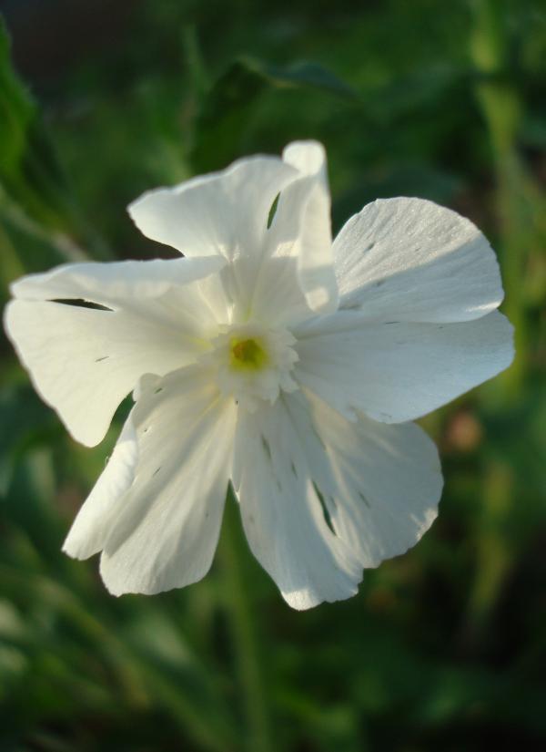 Silène latifolia - Compagnon blanc