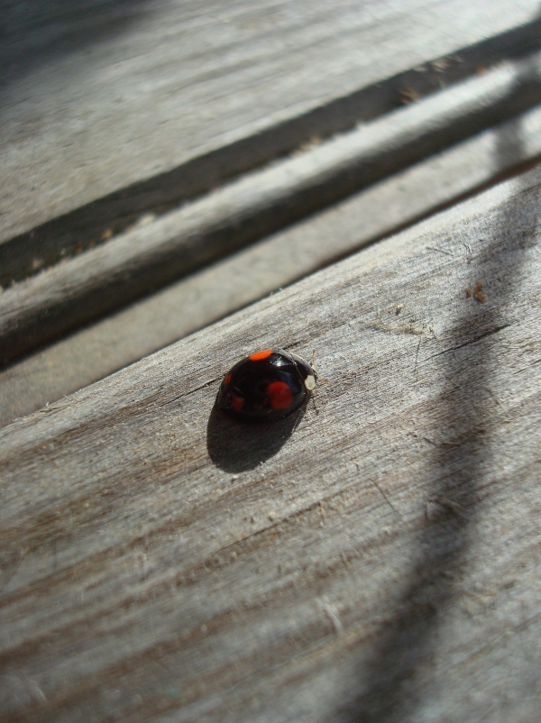 Invasion des Halloween lady beetles