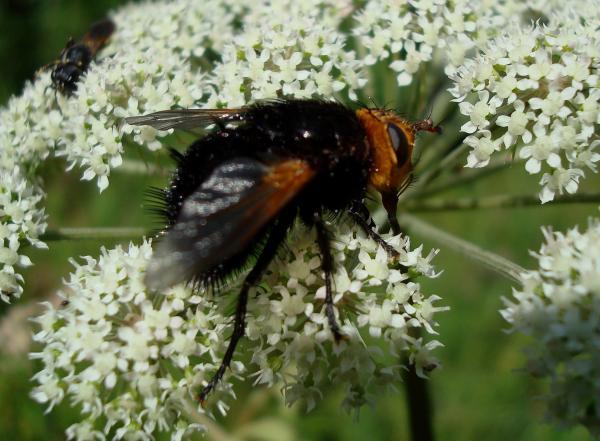 Echinomyie grosse -Tachina grossa (femelle)