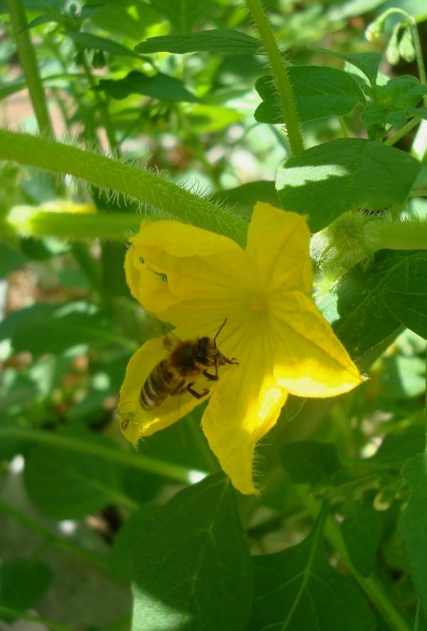 Abeille sur fleur de concombre lemon