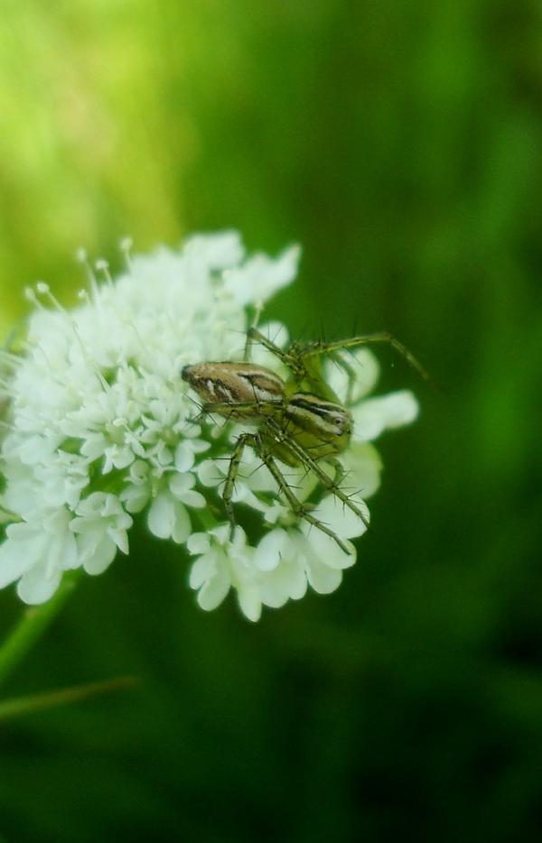 Araignée lynx - Oxyope lineatus