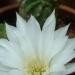 Mon échinopsis subdenudata en fleurs